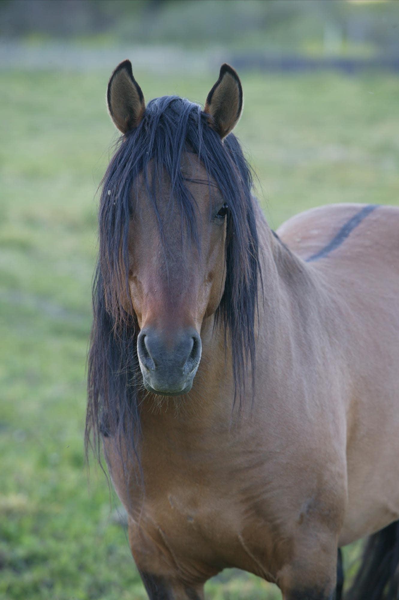 Mustang Sulphur Spring Chief in California